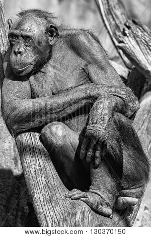 Bonobo Ape Portrait Close Up In B&w