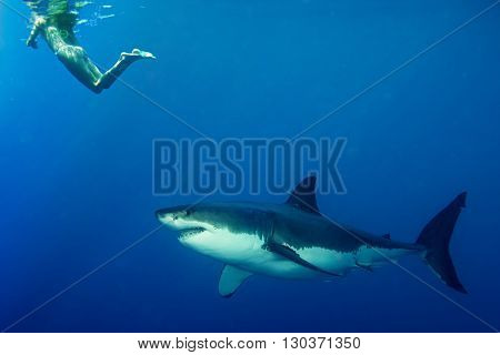 White Shark Ready To Attack Snorkelist Girl
