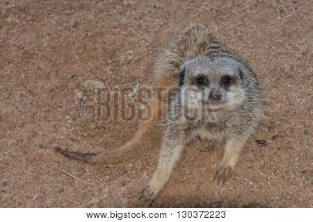 meerkat suricate close up portrait looking at you