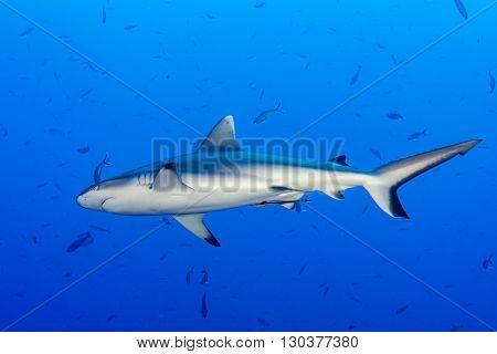 Grey Shark Ready To Attack Underwater