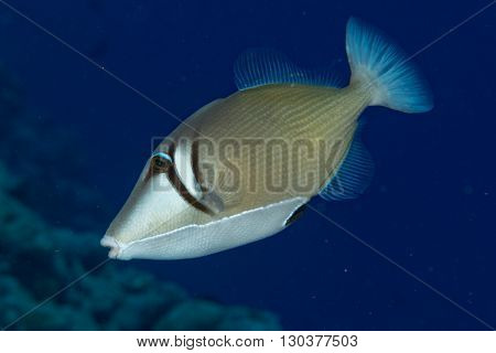 clown triggerfish portrait in maldives on reef picasso