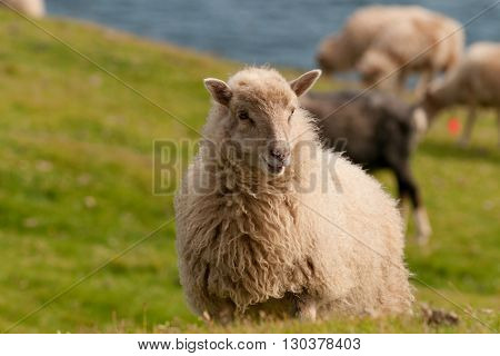 Sheep On The Faer Oer Mykines Cliffs