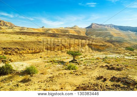 The bright green tree of camel thorn on the yellow background of Negev desert Israel.