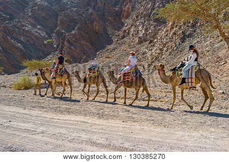 EILAT ISRAEL - FEBRUARY 24 2016: The camel safari to Masiv Eilat Nature Reserve is the popular tourist attraction on February 24 in Eilat.