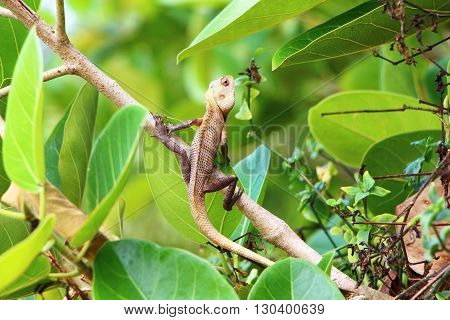lizard in foliage, south india, amphibians of south india, india lizard, green lizard with red eyes, the lizard in the bushes, light green lizard on the branch