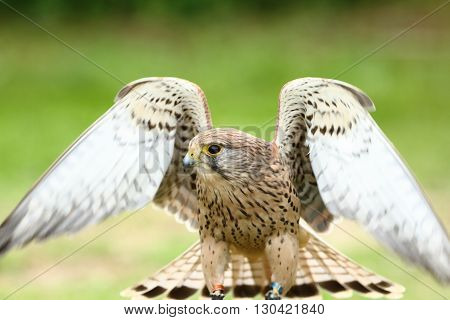 European kestral falco tinnunculus stretching wings out in the sun