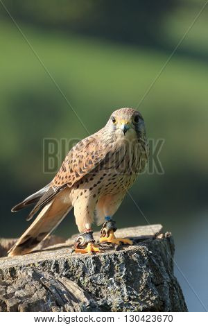 European kestral falco tinnunculus perched on a tree stump portrait orientation