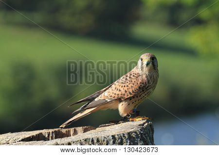 european kestral falco tinnunculus perched on top of tree stump landscape orientation
