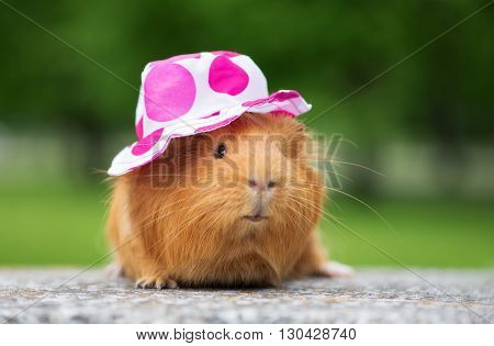 guinea pig posing outdoors in a summer hat