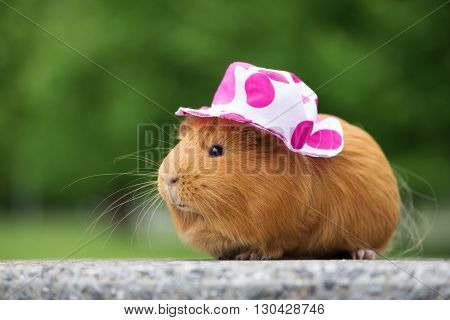 red guinea pig outdoors in a summer hat