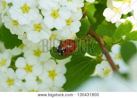 Flowers Spiraea vanhuttei and Ladybug close up. Ladybug and white flower.