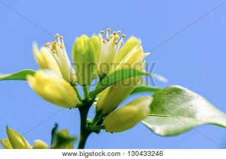 Pollen on white flowers of Murraya paniculata or Orange Jessamine on blue sky background
