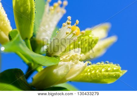 Water drops on white flowers and pollen of Murraya paniculata or Orange Jessamine on blue sky background