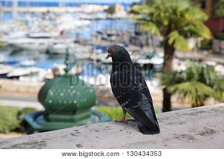 Pigeon On The Wall With the Town of Fontvieille in the Background