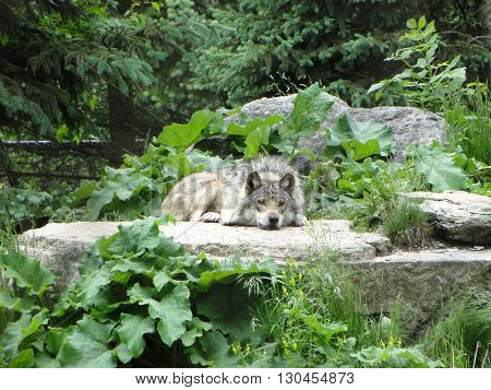 Wolf resting on a rock. Shot at Brookfield Zoo, IL