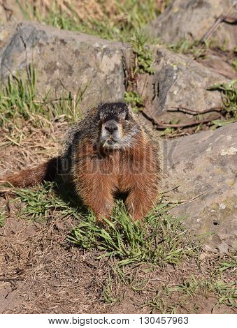 a marmot with a piece of grass in it's mouth