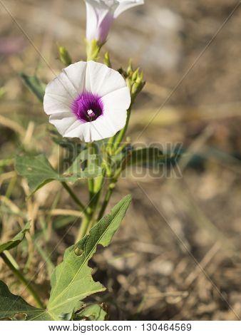 Flower of sweetpotato vine growing in home organic garden