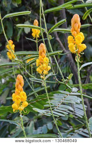 yellow Ringworm Bush flower in nature garden