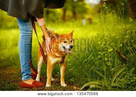 Dogs Shiba Inu stands next to the hostess in the spring park. Walking with a pet. Pedigree dog. Dog walking. Dog leash. poster