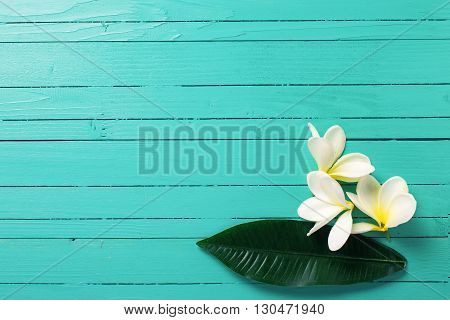 White tropical plumeria flowers on turquoise wooden background. Selective focos. Place for text. Flat lay.