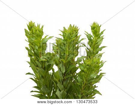 Platycodon grandiflorus is a species of herbaceous flowering perennial plant of the family Campanulaceae and the only member of the genus Platycodon on a white background isolated.
