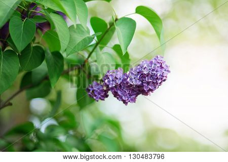 Branch Of Lilac Flowers With The Leaves.