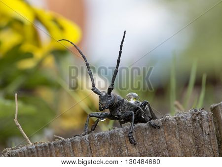 big black cricket outside in the nature