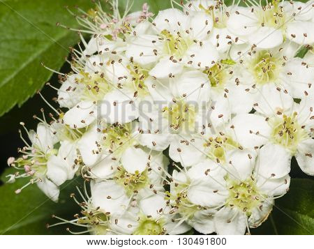 Blossoming hawthorn or maythorn Crataegus flowers close-up selective focus shallow DOF