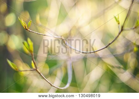 Thin bush twig with unfolding leaves abstract blurred springtime background shallow depth of field
