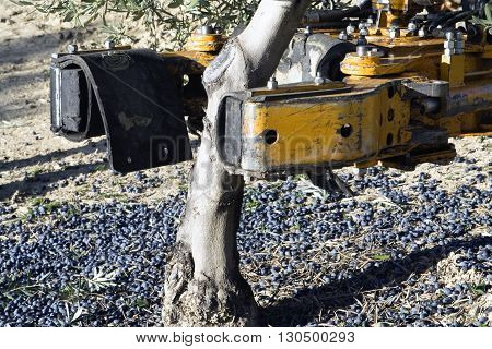 Vibrating machine in an olive tree olive compilation of mechanical form during the winter in January take in Jaen Spain