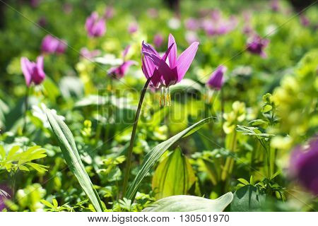 Many purple flowers in spring green forest.