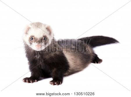 Ferret in full growth lies isolated on white background