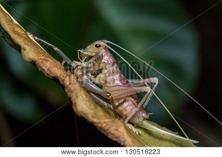 Moulting Katydid, Close-up of Mounlting Katydid of Borneo