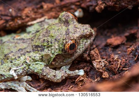 Tree Frog, Tree frog of Borneo, Tree frog on leaf