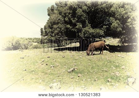 Cow Grazing on the Golan Heights in Israel Vintage Style Toned Picture