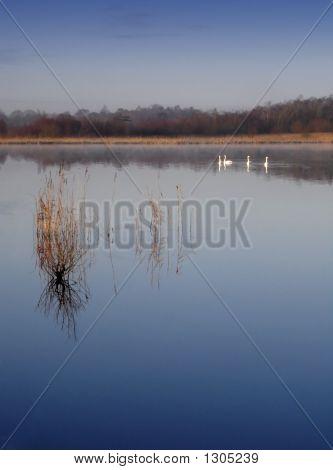 Swans On Still Lake