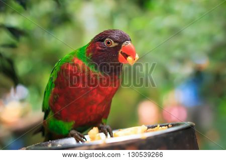 Closeup of A single parrot (Trichoglossus haematodus, lorius chlorocercus) perched on a platform with a food plate with food item in his beak