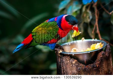 Portrait of A single Tricolor Parrot, Lorius Lory, eating fruits in natural surroundings