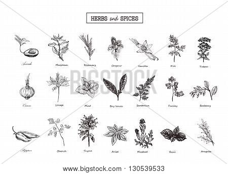 Set of Herbs and spices in sketch style. Vector illustration for your design