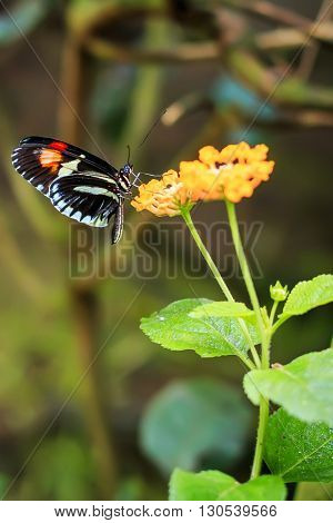 Single Red Postman Butterfly or Common Postman (Heliconius melpomene) perched on a flower