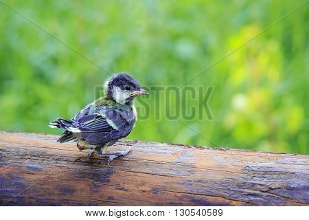 A lonely titmouse bird nestling closeup on green background
