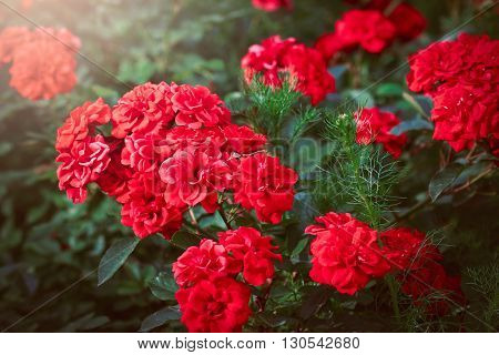 A bunch of red garden roses in sunset