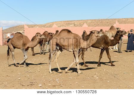 GUELMIM MOROCCO - OCTOBER 31 2015: Camels dromadaires(Camelus dromedarius) for sale at the weekly market in the south Moroccan town of Guelmim.