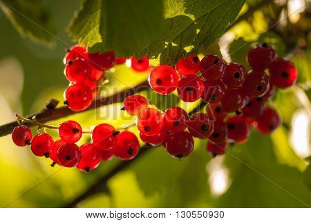 Red currants in the summer garden, sunny day. Macro sloseup shot.