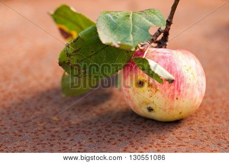 wormy apple with leaves on the rusty sheet. Copyspace.