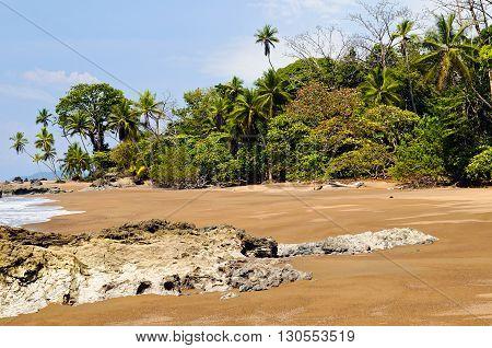 Typical beech in Osa Peninsula (Costa Rica).