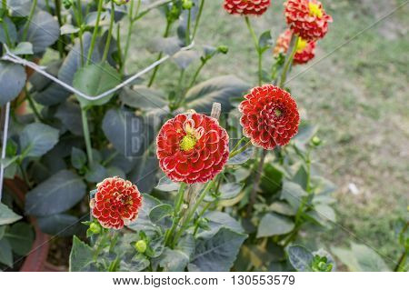 Mini dahlia flowers in garden and on the green plant.
