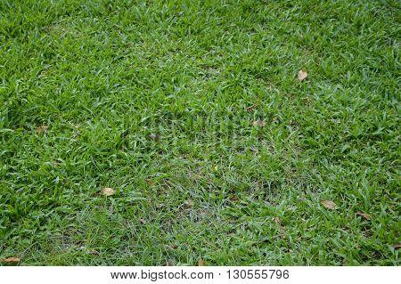 fresh green grass field in nature garden