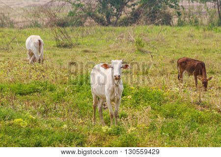 cows eating grass in a field in Thailand