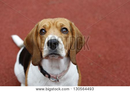 Small Beagle dog on red background in park